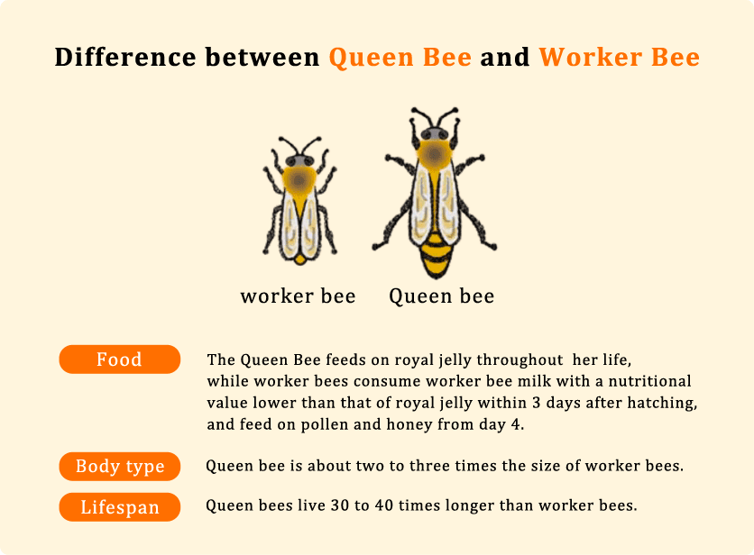 Difference between Queen Bee and Worker Bee