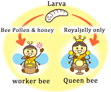 Queen and worker bees